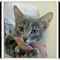 Adopt A Pet :: Dorito - Trevose, PA