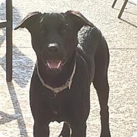 Labrador Retriever/Border Collie Mix Dog for adoption in Houston, Texas - Keli