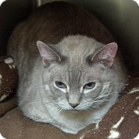 Domestic Shorthair Cat for adoption in Wheaton, Illinois - Missie