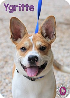 Ygritte | Adopted Dog | Middlebury, CT | French Bulldog ...