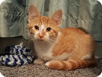 Domestic Shorthair Kitten for adoption in Highland, Indiana - PERSEUS