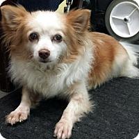 Chihuahua Mix Dog for adoption in Ventura, California - Lola Maria
