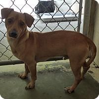 Adopt A Pet :: Brody - Manning, SC