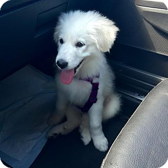 Great Pyrenees Puppy for adoption in Seymour, Connecticut - Themis:Adoption Pending!
