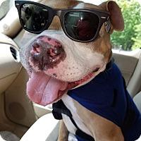 Pit Bull Terrier/Terrier (Unknown Type, Medium) Mix Dog for adoption in Huntsville, Alabama - Brewster