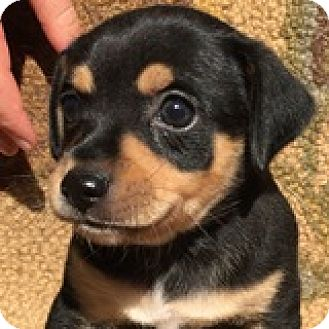 Dachshund Mix Puppy for adoption in Houston, Texas - Adam Appleseed