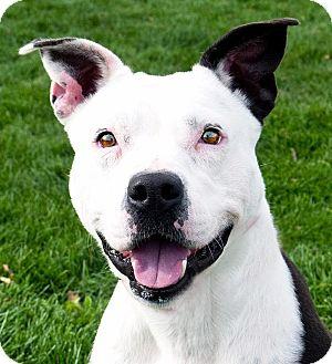 Staffordshire Bull Terrier/Bull Terrier Mix Dog for adoption in Logan, Utah - Mary