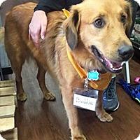 Adopt A Pet :: Buddy VIII - BIRMINGHAM, AL
