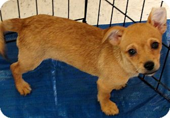 Terrier (Unknown Type, Small) Mix Puppy for adoption in Buena Park, California - Pumpkin