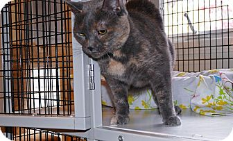 Domestic Shorthair Cat for adoption in Victor, New York - Misty