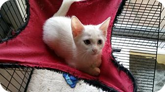 Domestic Shorthair Kitten for adoption in Palm Beach, Florida - Snowflake