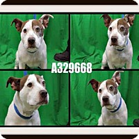 Adopt A Pet :: SWEETIE - St. Peters, MO