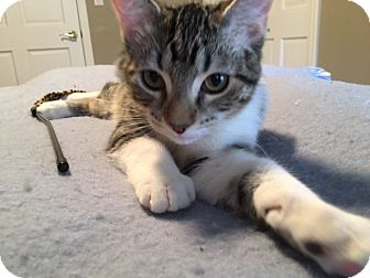 Domestic Shorthair Kitten for adoption in Romeoville, Illinois - Versace