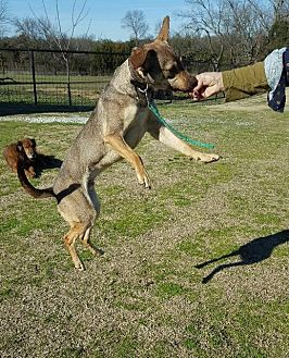 Lancashire Heeler/Australian Shepherd Mix Dog for adoption in McKinney, Texas - Dawson