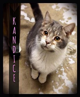 Domestic Shorthair Cat for adoption in Hartford City, Indiana - Kandice