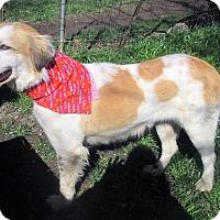 Adopt A Pet :: Bella - Godley, TX