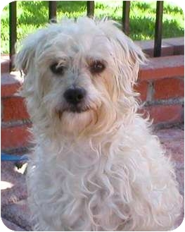 Coton de Tulear/Terrier (Unknown Type, Medium) Mix Dog for adoption in Poway, California - CASPER
