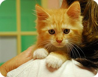 Domestic Mediumhair Kitten for adoption in Lunenburg, Massachusetts - Emma #3