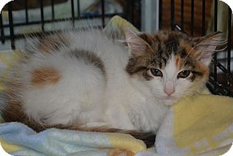 Maine Coon Kitten for adoption in Island Park, New York - Lissa