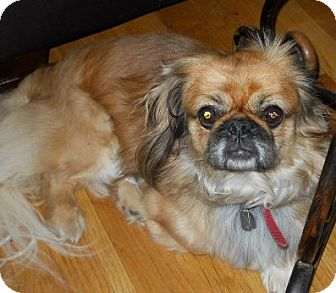 Pekingese Dog for adoption in dewey, Arizona - Goldie