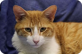 Domestic Shorthair Cat for adoption in Chicago, Illinois - Sir Wellington