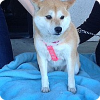 Adopt A Pet :: Roxy - Lake Forest, CA