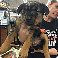 Adopt A Pet :: Jessie - Dallas, TX