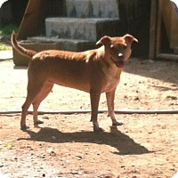 Chihuahua/Pit Bull Terrier Mix Dog for adoption in Icard, North Carolina - Little Miss Leah
