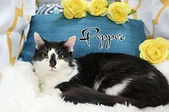Domestic Mediumhair Cat for adoption in knoxville, Tennessee - Pepper  Female $45