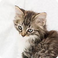 Adopt A Pet :: Austina - Fountain Hills, AZ