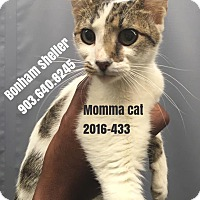Domestic Shorthair Cat for adoption in Bonham, Texas - Momma Cat