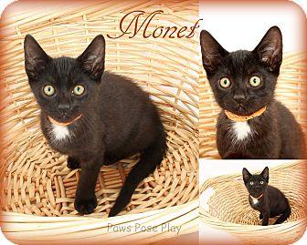 Domestic Shorthair Kitten for adoption in Stafford, Virginia - Monet
