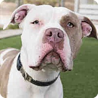 American Pit Bull Terrier Mix Dog for adoption in Agoura, California - Harper