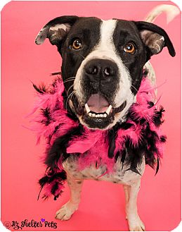 American Pit Bull Terrier/Dalmatian Mix Dog for adoption in Phoenix, Arizona - Dollie