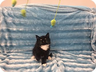 Domestic Longhair Kitten for adoption in Highland Park, New Jersey - Fuzzy Kisses
