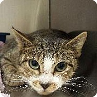 Domestic Shorthair Cat for adoption in Queenstown, Maryland - Peanut