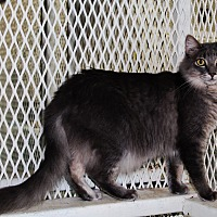 Domestic Mediumhair Cat for adoption in Odessa, Texas - Nala