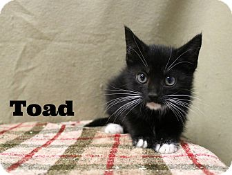 Domestic Shorthair Kitten for adoption in Melbourne, Kentucky - Toad