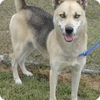 Husky/Shepherd (Unknown Type) Mix Dog for adoption in Olive Branch, Mississippi - Zedd