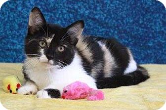 Calico Kitten for adoption in South Bend, Indiana - periwinkle