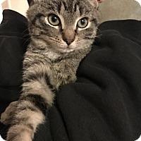 Adopt A Pet :: Swan - Templeton, MA
