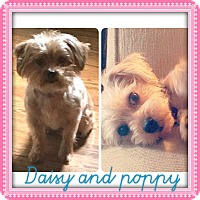 Adopt A Pet :: DAISY AND POPPY - HARRISBURG, PA