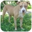Photo 2 - American Staffordshire Terrier/Pit Bull Terrier Mix Dog for adoption in Chicago, Illinois - Loki