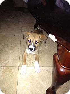 Boxer/Shepherd (Unknown Type) Mix Puppy for adoption in Lake Forest, California - Annie