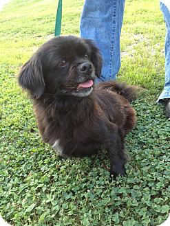 Pekingese Mix Dog for adoption in Richmond, Virginia - Maurie