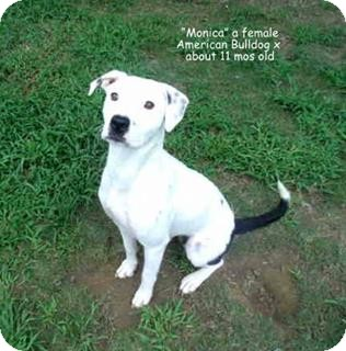 Bulldog Mix Dog for adoption in Gadsden, Alabama - Monica