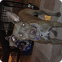 Adopt A Pet :: Brownie - Gilbert, AZ