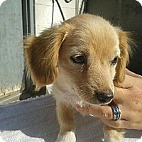 Adopt A Pet :: Cocker/Chihuahua Puppies!! - Manhattan, NY