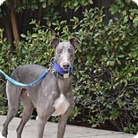 Adopt A Pet :: Grover - Walnut Creek, CA