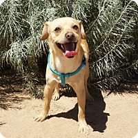 Adopt A Pet :: Happy LITTLE Holden ~ a FUN Chiweenie - Albuquerque, NM